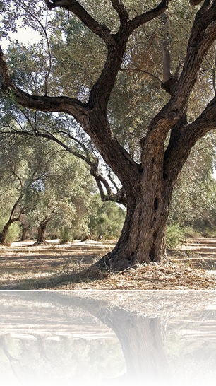 Olive Tree_Cathcing Files